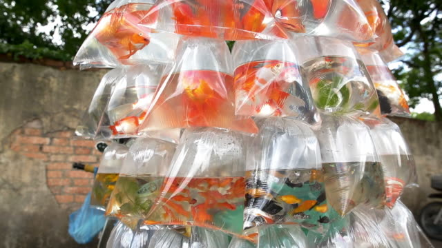 cu shop of goldfish, goldfish hawker / quan 1, ho chi minh city, vietnam - goldfish stock videos & royalty-free footage