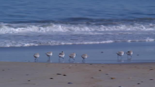 shore birds running - sandpiper stock videos & royalty-free footage