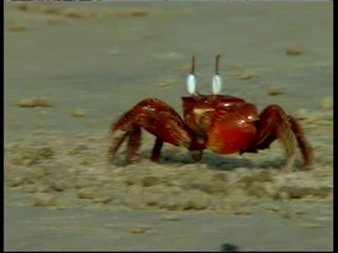 Shore crab (Ocypode sp.) feeding whilst walking sideways on sandy beach, South India