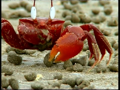shore crab (ocypode sp.) scooping sand into mouth and excreting, south india - klaue stock-videos und b-roll-filmmaterial