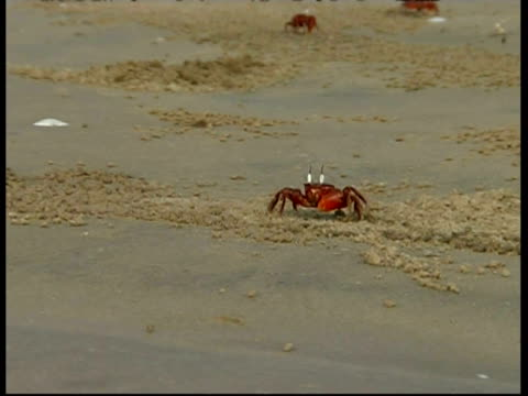 shore crab (ocypode sp.) throwing waste sand and feeding, south india - krabbe stock-videos und b-roll-filmmaterial