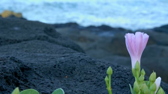 Shore flowers macro crashing waves dawn 3 Kauai Hawaii