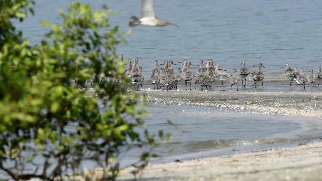 shorebird 、migrant birds タイの海岸線 - シギ科点の映像素材/bロール