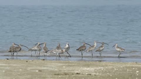 shorebird, migrant birds in thailand coastline - walking in water stock videos & royalty-free footage