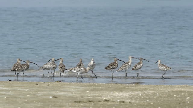 shorebird, migrant birds in thailand coastline - north sea stock videos & royalty-free footage