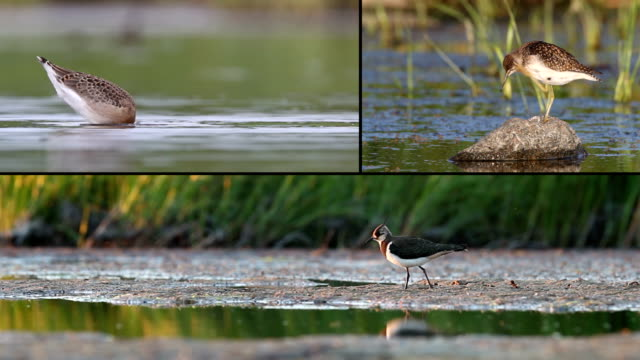 shorebirds モンタージュ - クサシギ属点の映像素材/bロール
