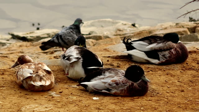 shorebirds resting near lake - cinque animali video stock e b–roll