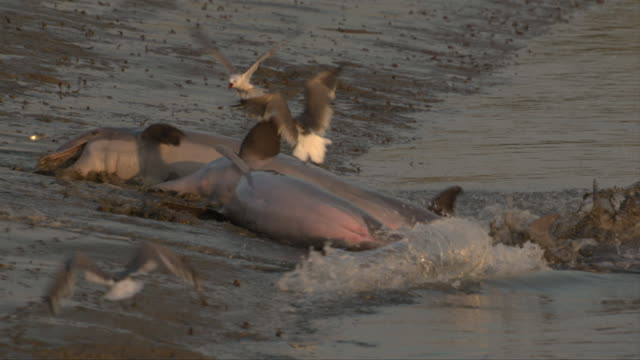 shorebirds rise as dolphins crash onto a beach to feed. - cetacea video stock e b–roll