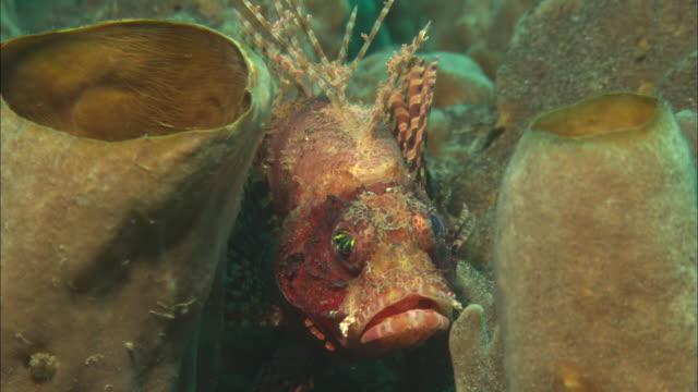 vídeos y material grabado en eventos de stock de short fin lionfish, in sponge, indonesia  - rascacio
