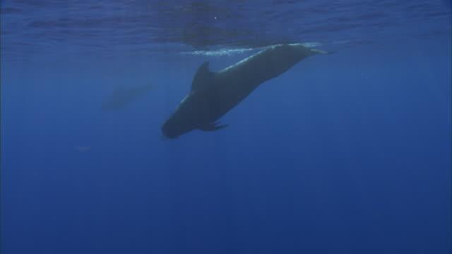 Short finned pilot whale (Globicephala macrorhynchus) surfaces, Hawaii