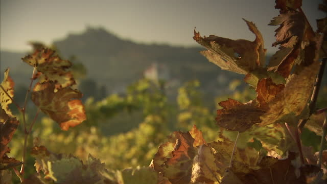 golden brown vineyard grape leaves moving slightly in wind soft green leaves distant hill bg rack focus ls st jakobus parish church on lower hillside - lower austria stock videos and b-roll footage