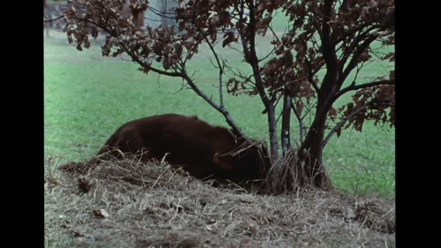 vídeos de stock, filmes e b-roll de short harried male terrier walking to grass edge & lifting leg, urinating, marking dried tree trunk. vs male dogs marking territory spots,... - terrier