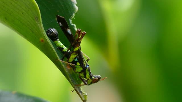 vidéos et rushes de sauterelle de corne courte manger une feuille verte - fard à joues