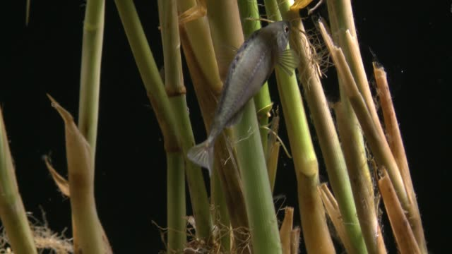 vídeos y material grabado en eventos de stock de a short ninespine stickleback fish builds a house on the water plant during mating season in the river upstream - water plant