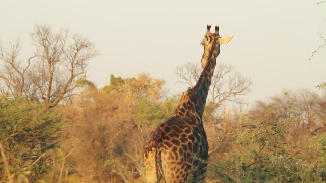 stockvideo's en b-roll-footage met ms pan short of giraffe eating vegetation / ghanzi district, ghanzi district, botswana - wiese