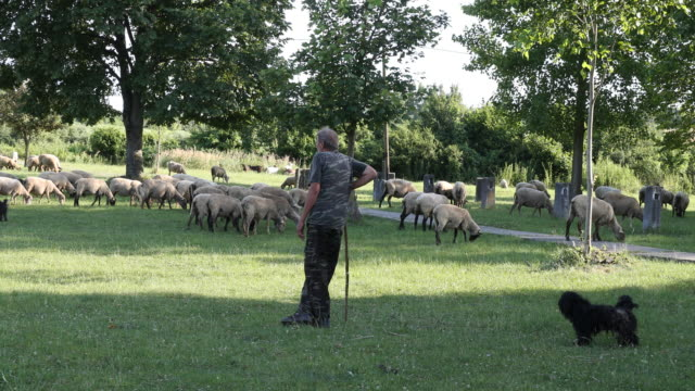 Short pan from right to left and close up of a shepherd and his herd of sheeps and a sheep dog in Hungary