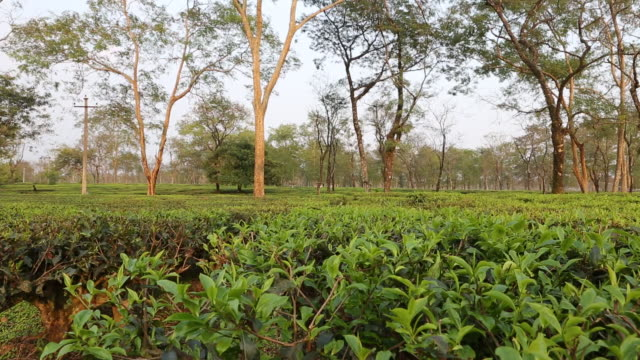 short pan over tea plants teak trees in the background - water cooler stock videos & royalty-free footage
