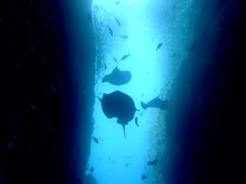 short tailed stingrays and other fish glide through an underwater canyon. - other stock videos & royalty-free footage