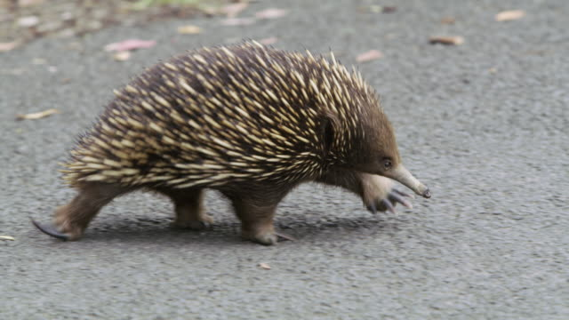 LS A short-beaked echidna or spiny anteater (Tachyglossus aculeatus) / Tarra Valley, Australia