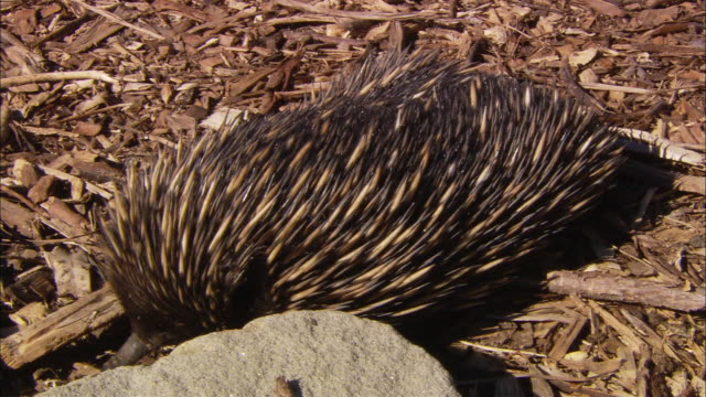 ms short-beaked echidna (tachyglossus aculeatus) sniffing for food in mulch and among rocks, sydney, new south wales, australia - camouflage stock videos & royalty-free footage