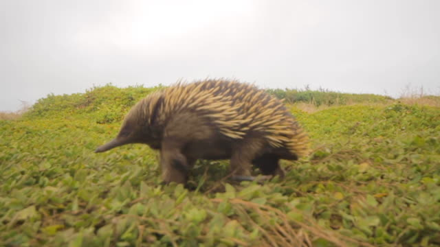short-beaked echidna walking over plants - oceania stock videos & royalty-free footage