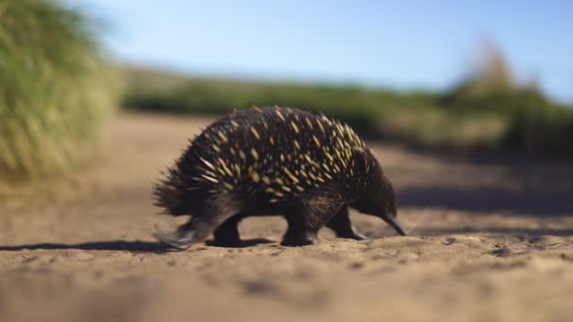 a short-beaked echidna (tachyglossus aculeatus) walking - sharp stock videos & royalty-free footage