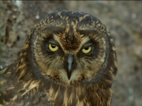 a short-eared owl bobs its head. - history点の映像素材/bロール