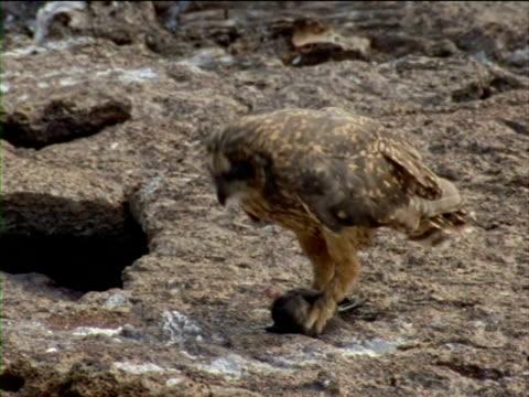 a short-eared owl eats a storm-petrel. - history点の映像素材/bロール