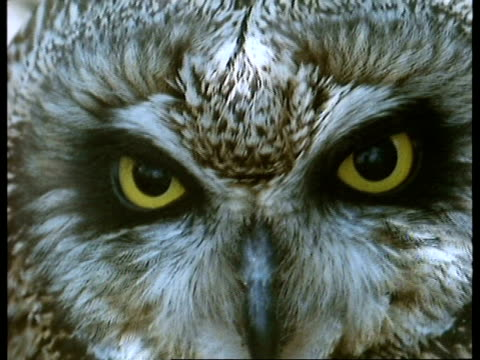 bcu short-eared owl (asio flammeus) face, scotland - animal eye stock videos and b-roll footage