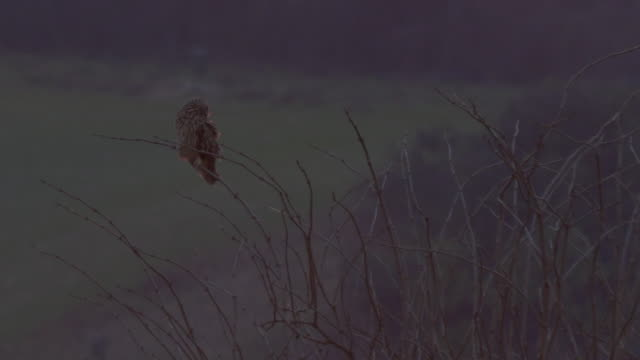 short-eared owl (asio flammeus) perched on a tree branch - perching stock videos & royalty-free footage