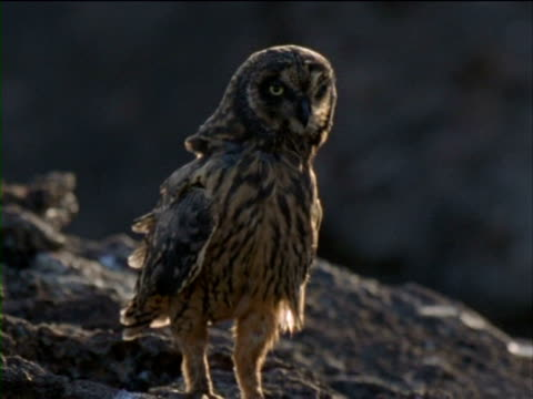 a short-eared owl perches on a rock and then flies away. - history点の映像素材/bロール