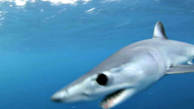 shortfin mako bites camera (isurus oxyrinchus) - hai stock-videos und b-roll-filmmaterial