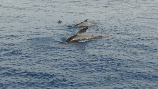 short-finned pilot whale family surfacing in hualien, taiwan - surfacing stock videos & royalty-free footage
