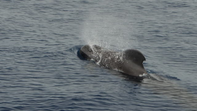 short-finned pilot whale surfacing in taiwan - surfacing stock videos & royalty-free footage