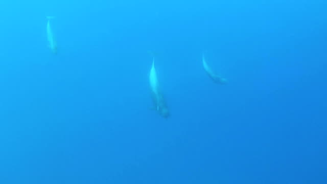 short-finned pilot whales - north atlantic ocean stock videos & royalty-free footage