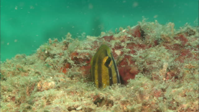 Shorthead sabretooth Blenny, head in and out of hole, Borneo, Malaysia, Southeast Asia