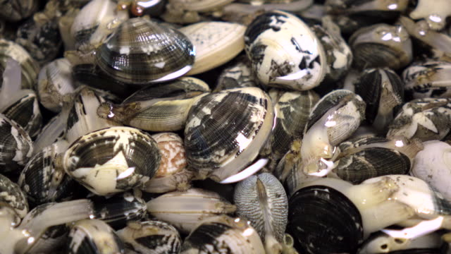 short-necked clam -4k- - full stock videos & royalty-free footage