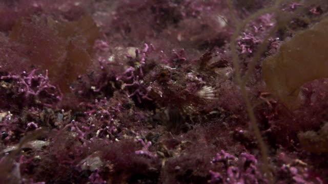 stockvideo's en b-roll-footage met short-spined sea scorpion (myoxocephalus scorpius). arran. underwater, north atlantic - steurgarnaal