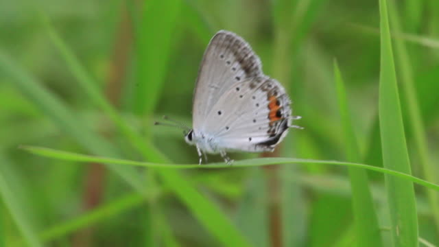 short-tailed blue butterfly (cupido argiades) - gliedmaßen körperteile stock-videos und b-roll-filmmaterial