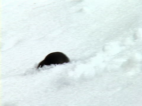 ms, pan, short-tailed shrew (blarina brevicauda) hunting in snow, algonquin provincial park, ontario, canada - rodent stock videos and b-roll footage