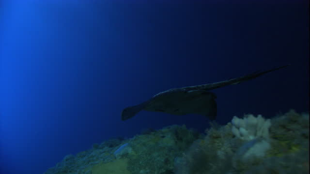 A short-tailed stingray swims over the sea floor. Available in HD.