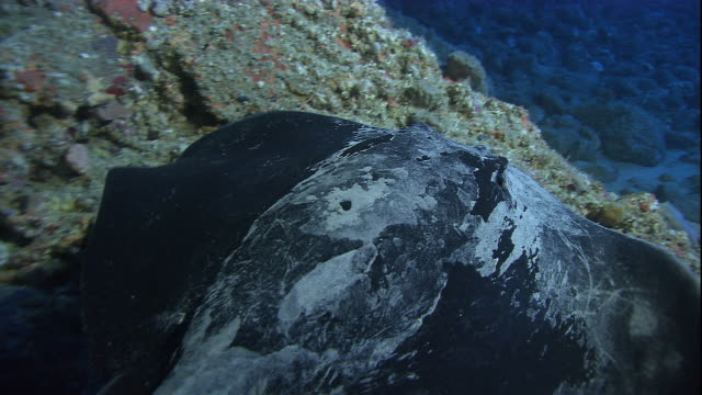 a short-tailed stingray swims over the sea floor. available in hd. - stingray stock videos and b-roll footage