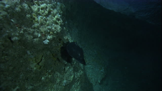 a short-tailed stingray swims over the sea-floor. available in hd. - stingray stock videos and b-roll footage