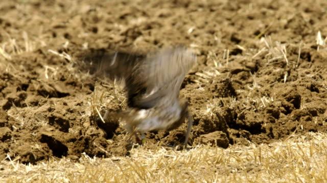 Short-toed snake eagle 4
