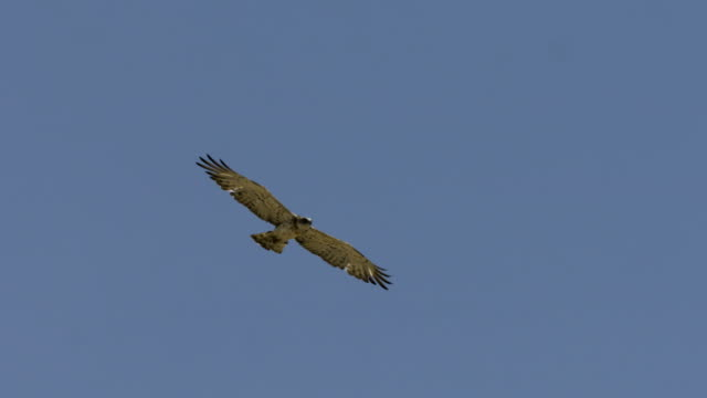 short-toed snake eagle (circaetus gallicus) - eagle bird stock videos and b-roll footage