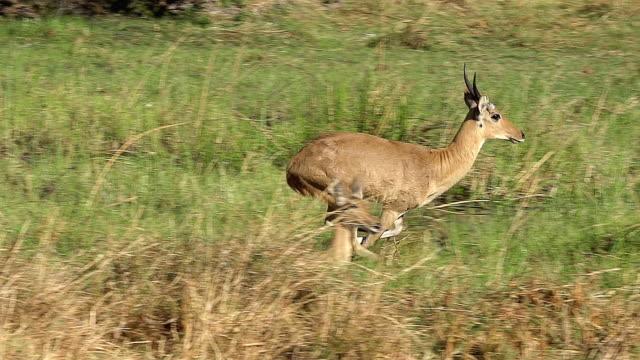 MS TS SLO MO Shot 0f Reedbuck (redunca arundinum) Male running at Okavangoforest area / Moremi Reserve, Africa, Botswana