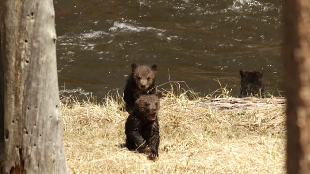 TS  shot 3 grizzly bear cubs  (Ursus arctos horribilis) that are scared to cross the river
