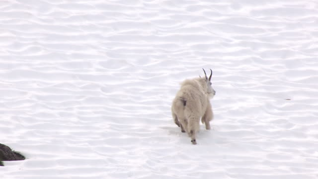MS AERIAL TS Shot along mom and kid mountain goats running up Juneau Mountain slope with snow / Alaska, United States