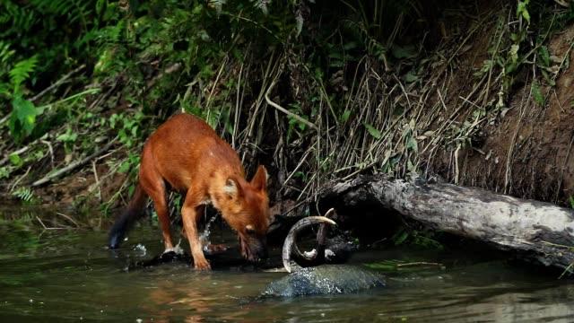 Shot amazing of Asian wild dog eating deer in the lake , Slow motion