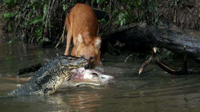 Shot amazing of Asian wild dog eating deer in the lake